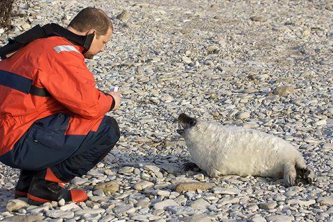 Слушая детеныша серого тюленя. (Фото из частного архива)