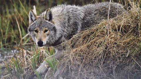 Волк (SCANPIX)