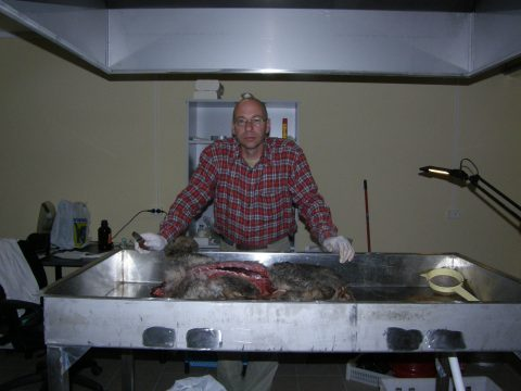 В 2009 году в Тарту в лаборатории мониторинга диких животных за вскрытием волка. (ЧАСТНЫЙ АРХИВ)