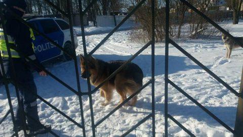 """Нарвитянка Алина Виле сделала эту фотографию 28 февраля в очень напряженной обстановке: по вызову прибыла полиция, чтобы помочь мужчине и ребенку спастись от двух псов, терроризировавших их собаку у тренировочной площадки. """"Полиция пыталась отогнать их, но ничего не действовало на этих собак. Тогда полицейская машина подъехала вплотную к калитке нашего собачника, куда спрятались люди с собакой, и их эвакуировали оттуда. А собаки гуляли дальше"""", - рассказала свидетельница. (Фото: Алина ВИЛЕ)"""